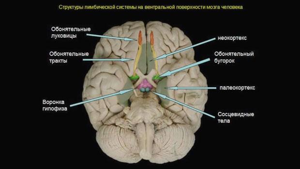 Слайд 10. Структуры лимбической системы