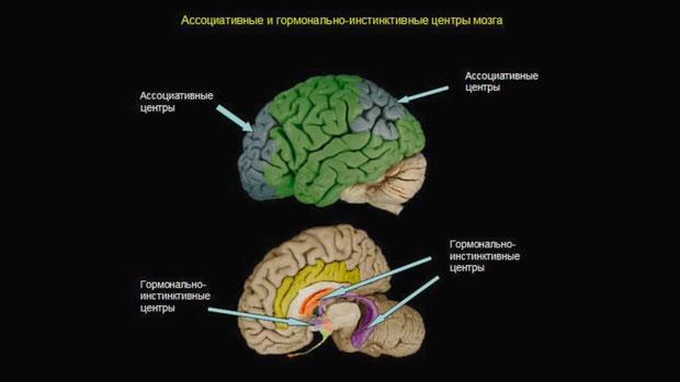 Слайд 3. Ассоциативные и гормонально-инстинктивные центры мозга