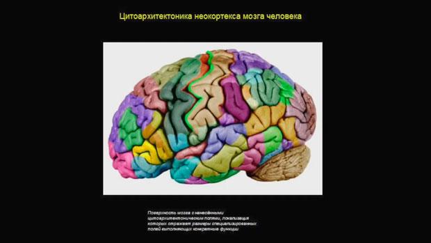 Слайд 6. Цитоархитектоника неокортекса мозга человека