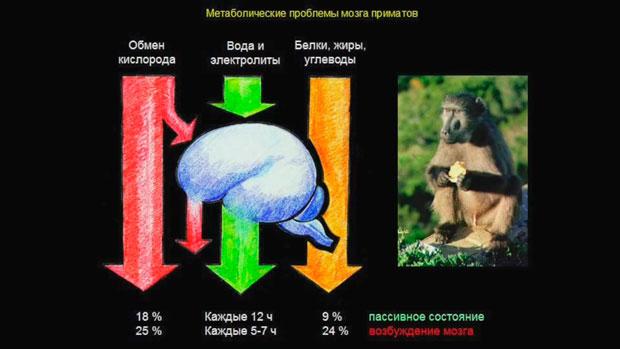 Слайд 7. Метаболические проблемы мозга приматов